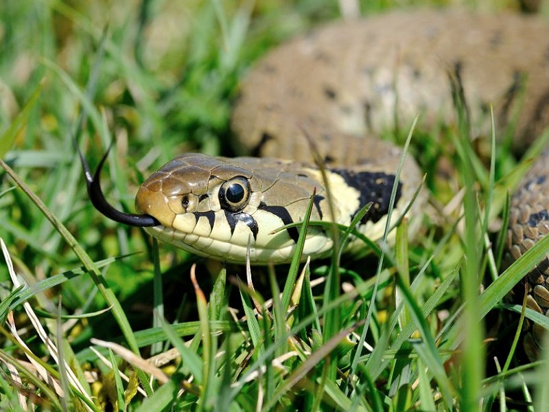 Species of the day: Grass Snake