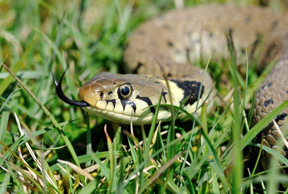 Grass Snake © Bob Eade
