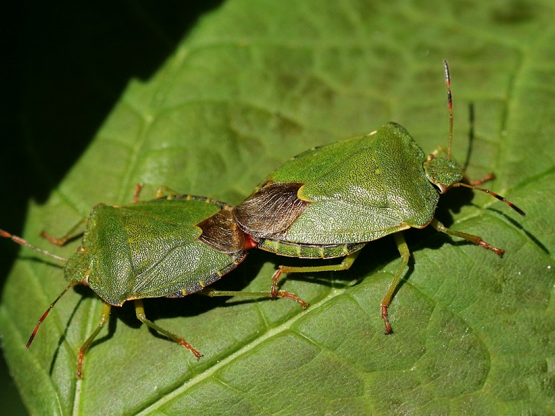 Species of the day: Green Shield Bug