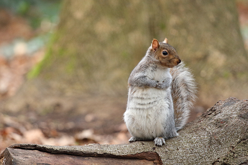 Species of the day: Grey Squirrel