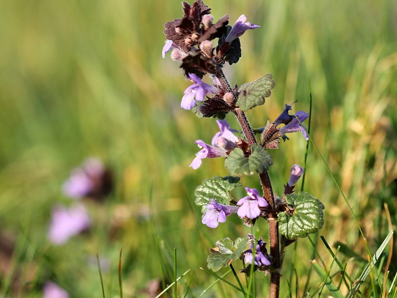 Species of the day: Ground-Ivy