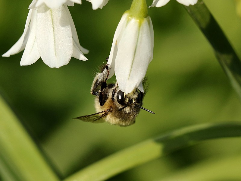 Species of the day: Hairy-footed Flower Bee