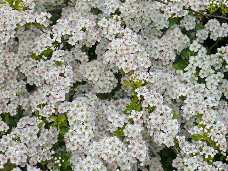 Species of the day: Hawthorn