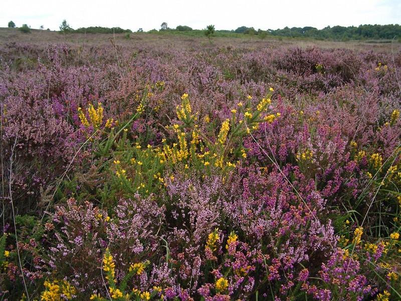 Sussex Heathlands