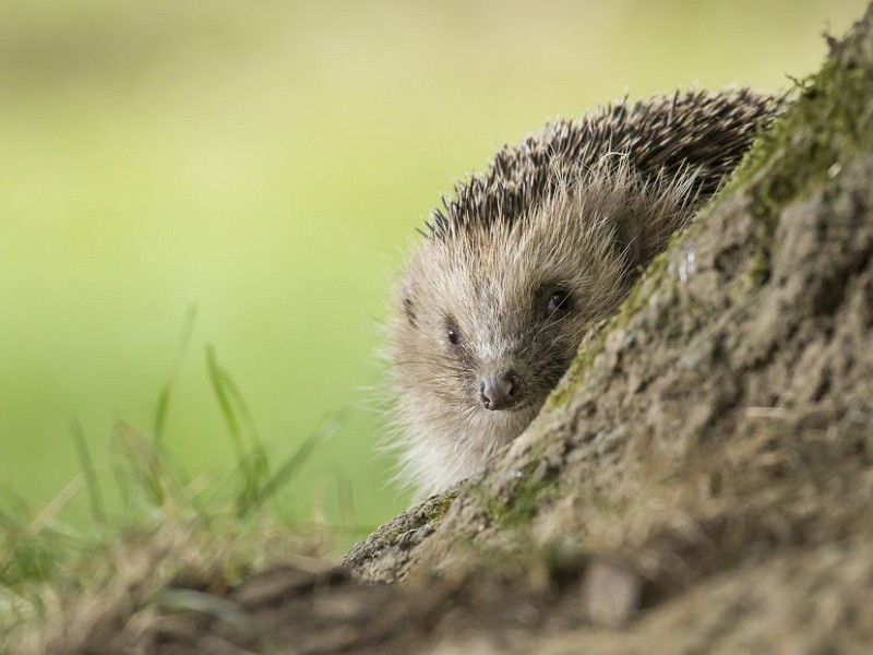 Species of the day: Hedgehog