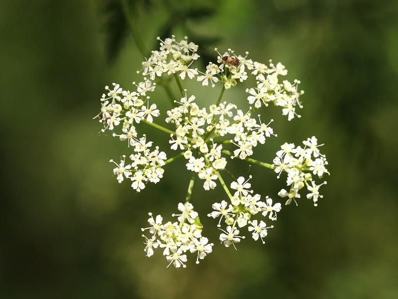 Species of the day: Hemlock