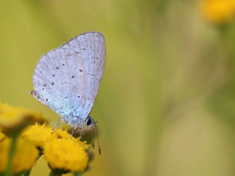 Species of the day: Holly Blue