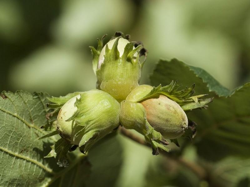 How edible trees can help with farm animal health