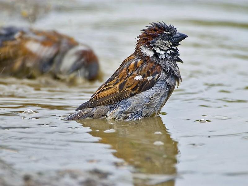 The humble House Sparrow