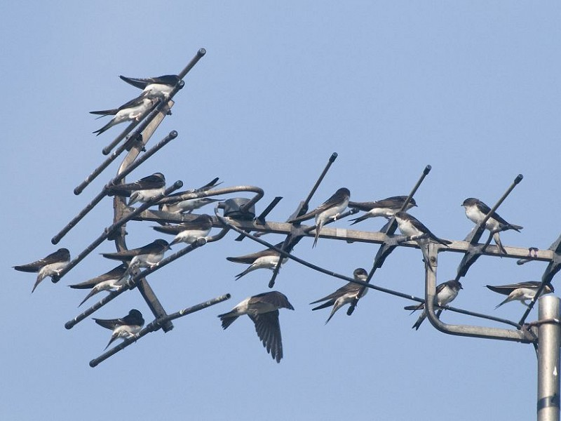 House Martin Migration