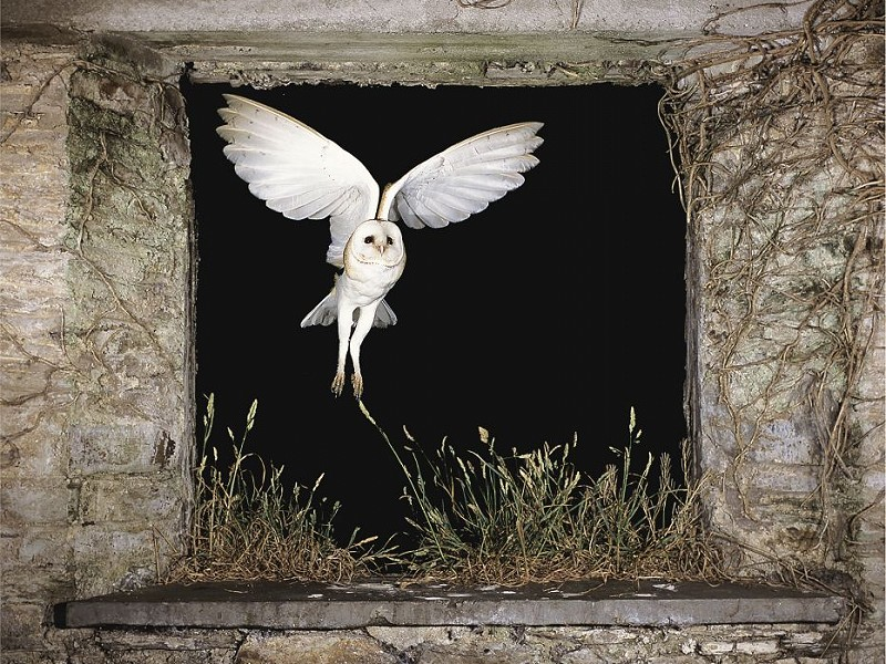 Where did barn owls live before we built barns?