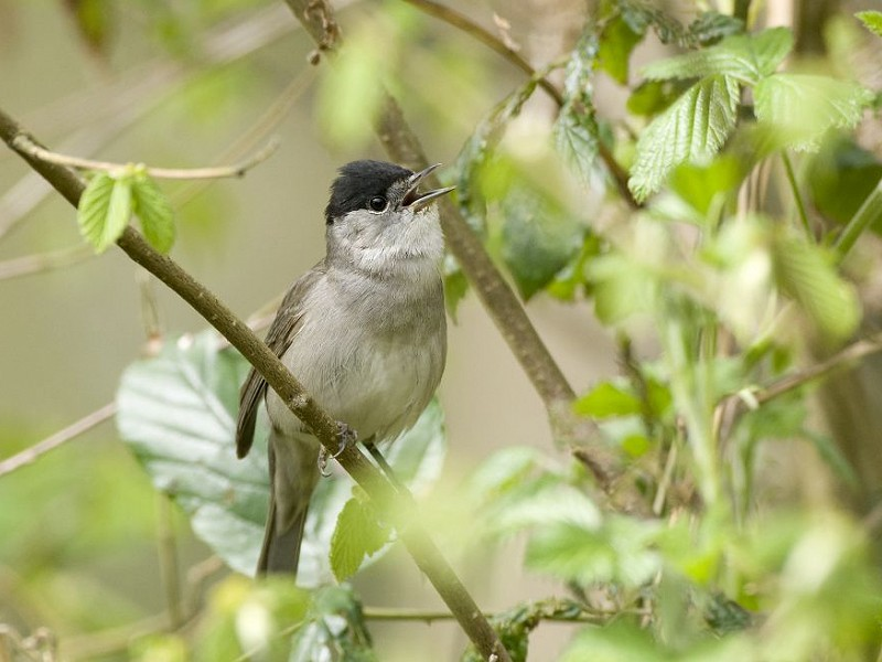 Blackcap - Bird Song