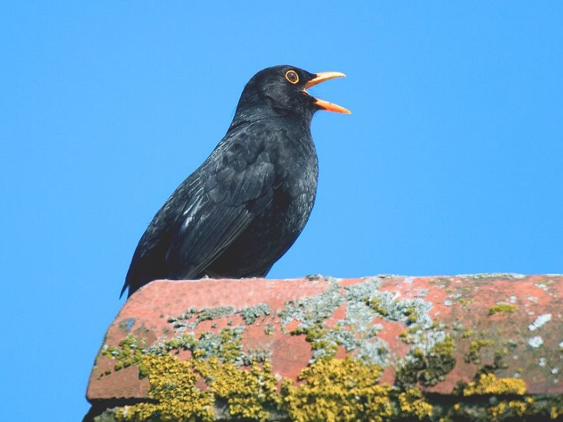 Blackbird - Bird Song