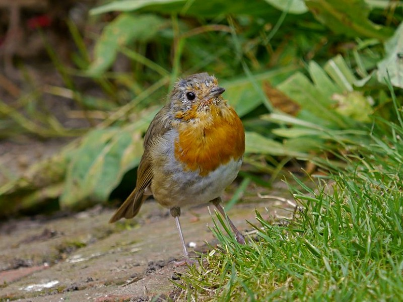 Where have all the garden birds gone?