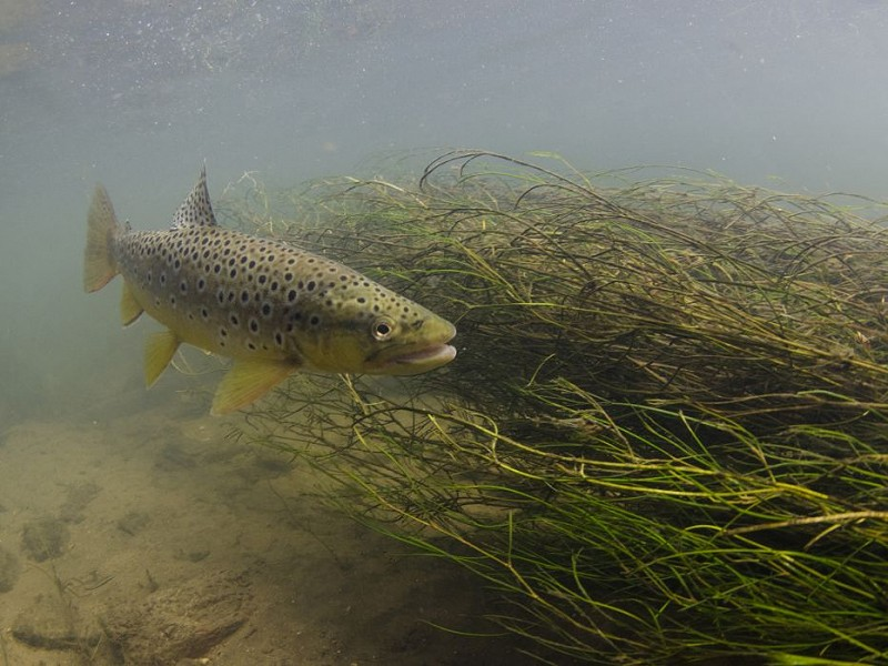 Sussex super-trout