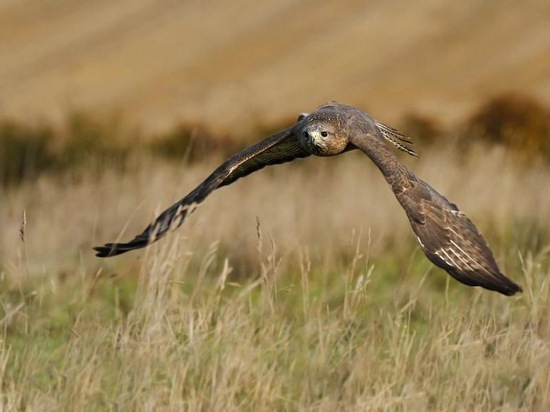 How to identify birds of prey