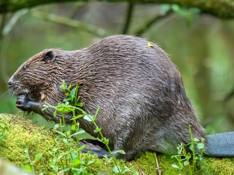 Behaving like beavers