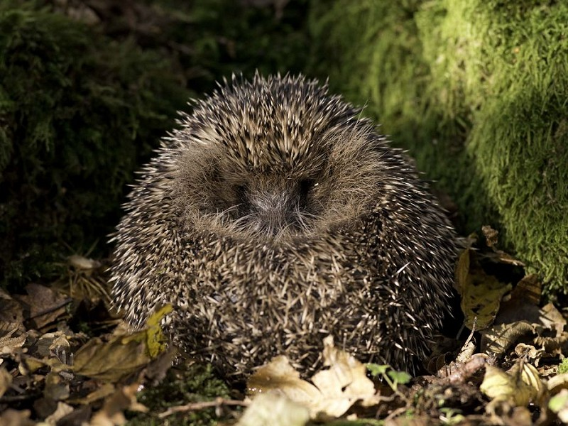 Top 5 ways to help hedgehogs this autumn