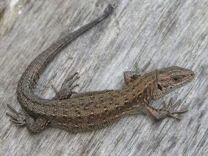 Species of the day: Common Lizard