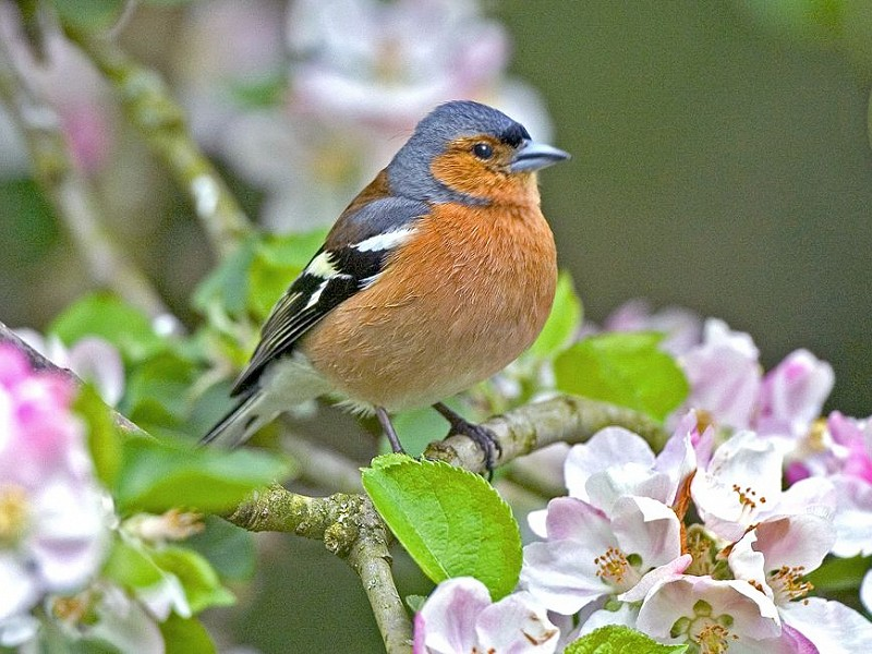Chaffinch - Bird Song