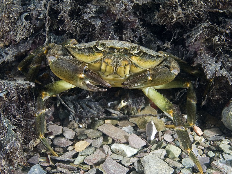 Creature feature: Green Shore Crab