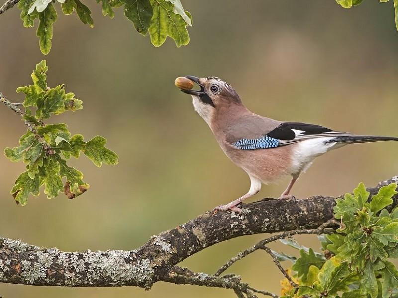 The 'British Bird of Paradise' - the Jay