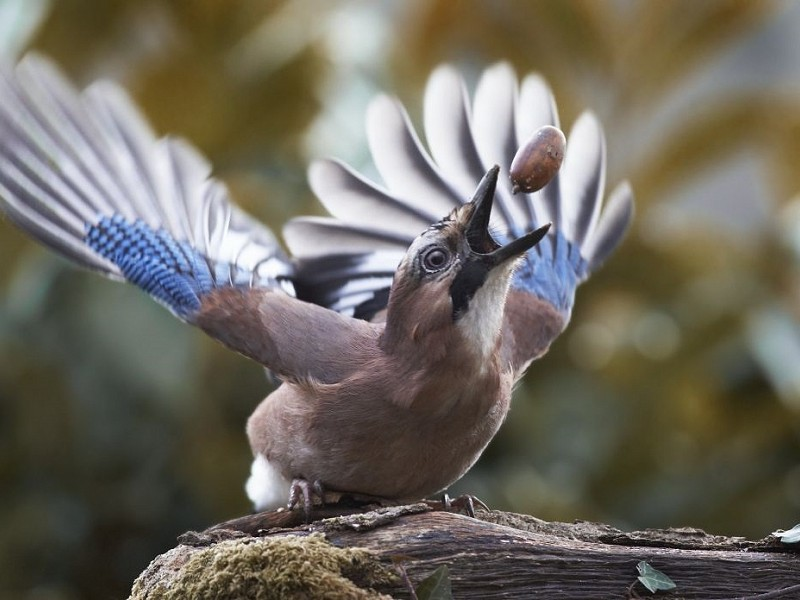 Jay - the flashiest dresser of the corvid family