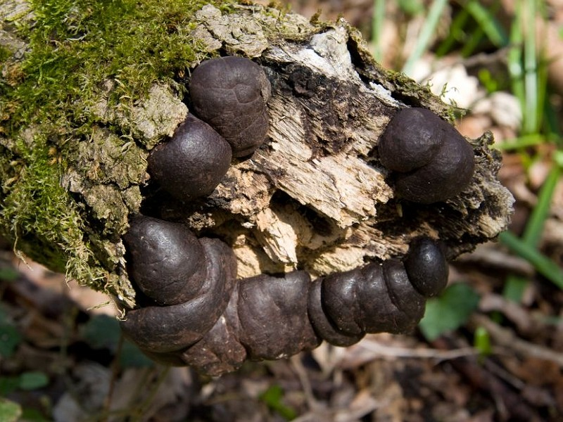 Species of the day: King Alfred's Cakes