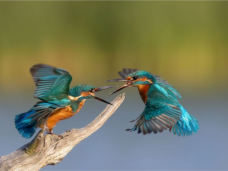 Kingfisher Confrontation wins Sussex Wildlife Trust's photo competition