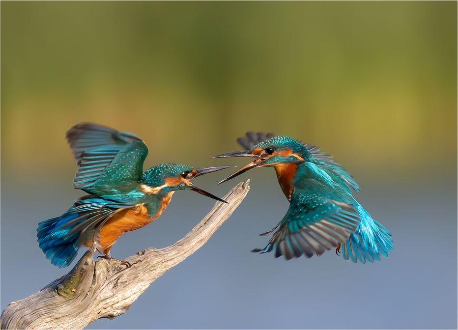 Kingfisher Confrontation   PC20©Michael J VickersSussex Wildlife Trust
