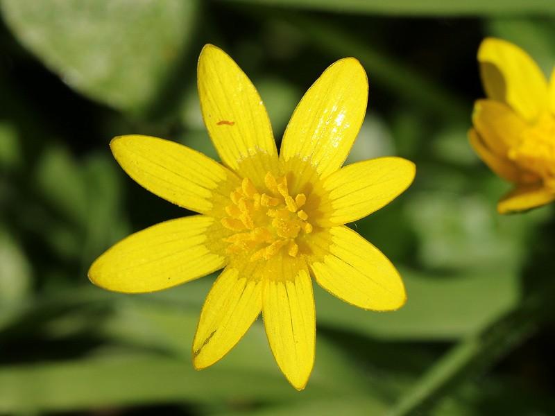 Species of the day: Lesser Celandine