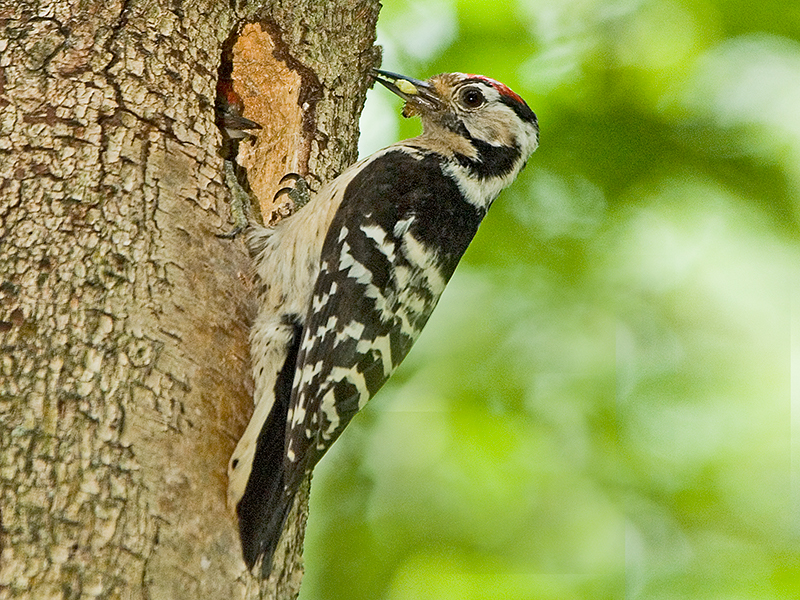 Talk on British Owls and Woodpeckers