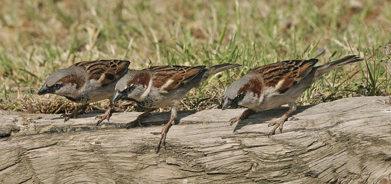Species of the day: House Sparrow