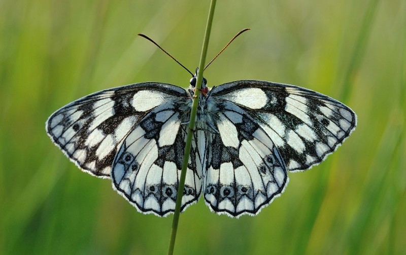 Species of the day: Marbled White
