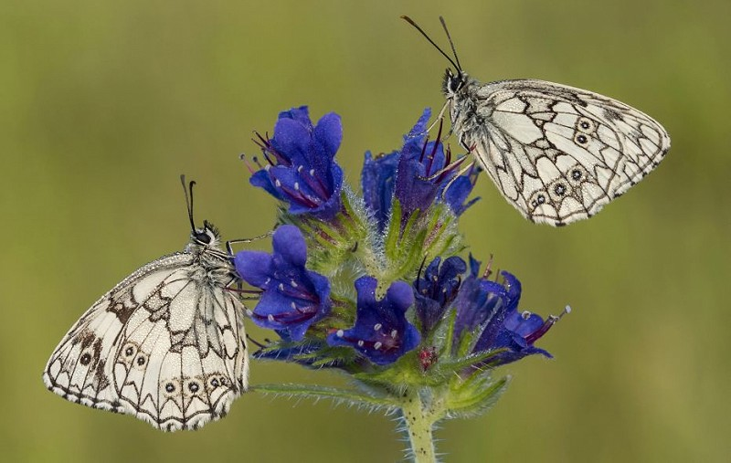 Know your black and white butterflies