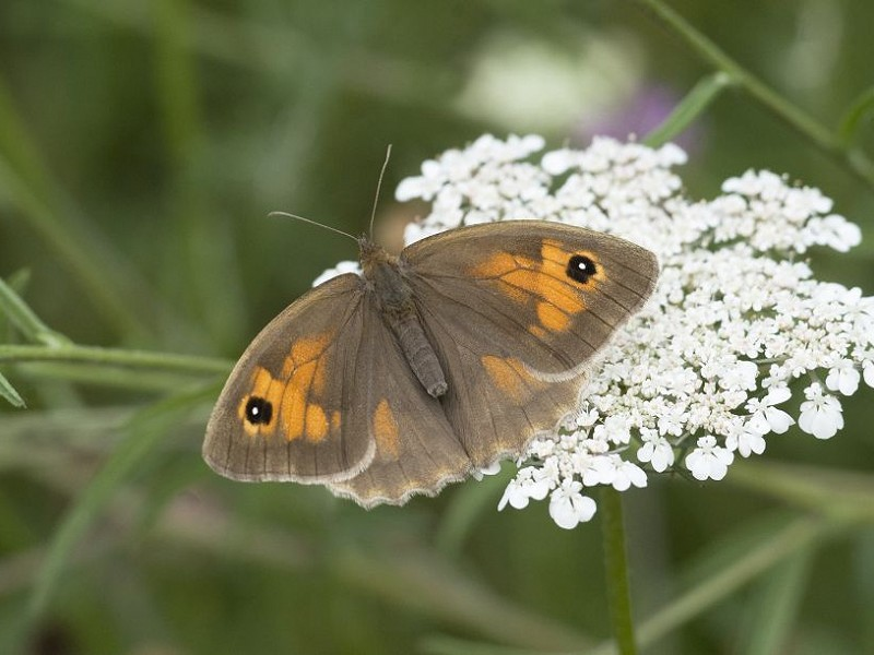 Species of the day: Meadow Brown