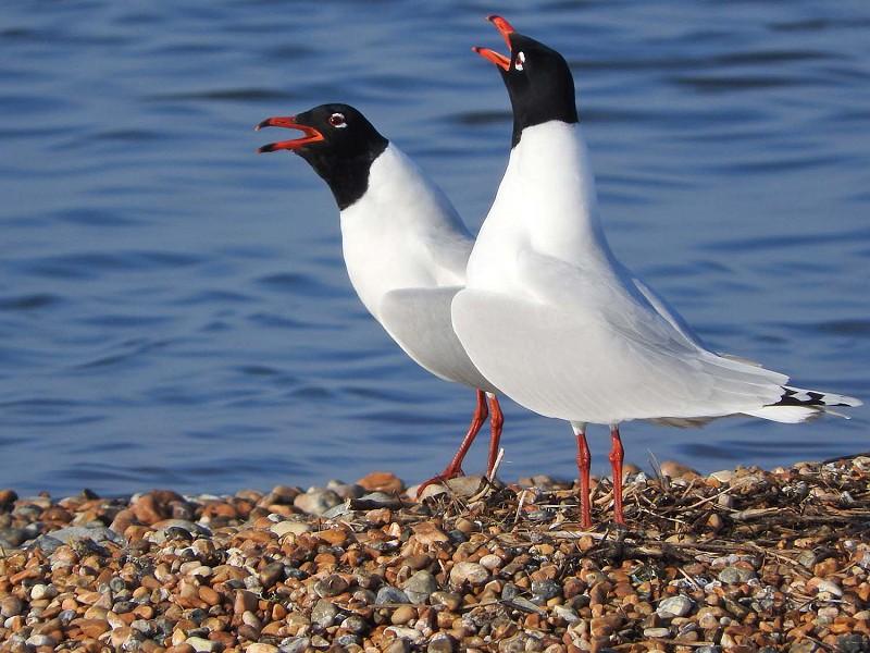 Spring Bird Arrivals in Rye Bay