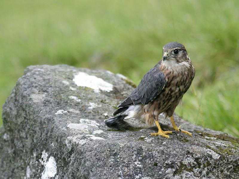 Species Spotlight: Merlin