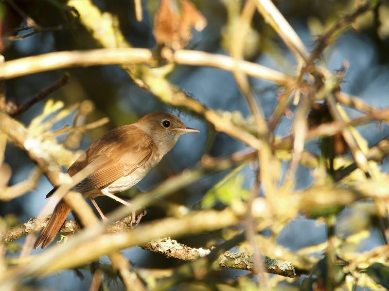 Nightingale - Bird Song