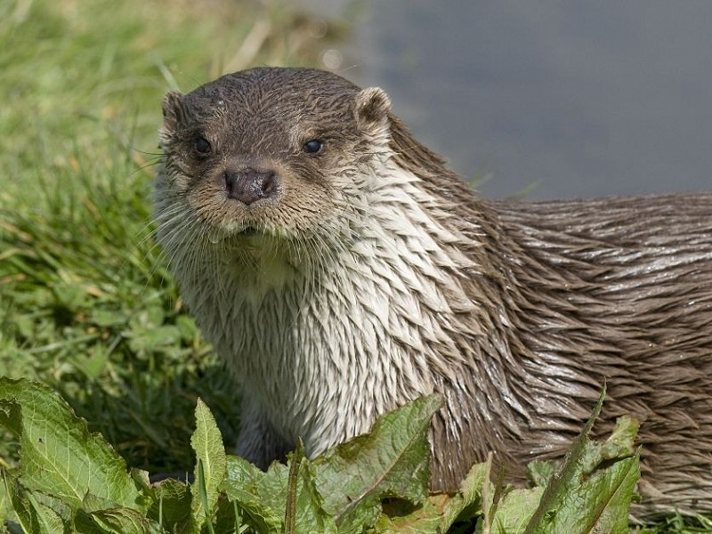 Otter spotted in central Sussex
