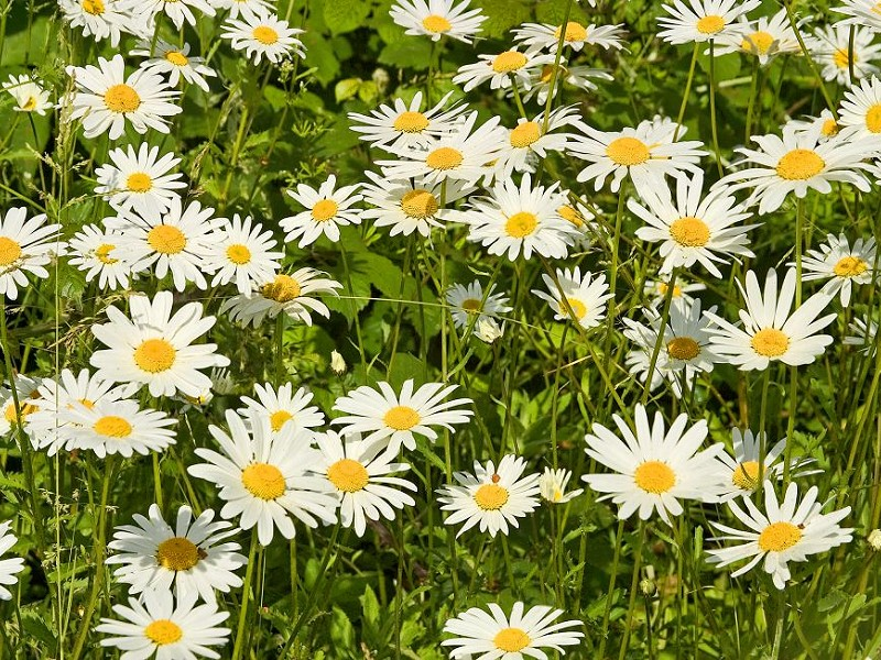 Species of the day: Ox-eye Daisy