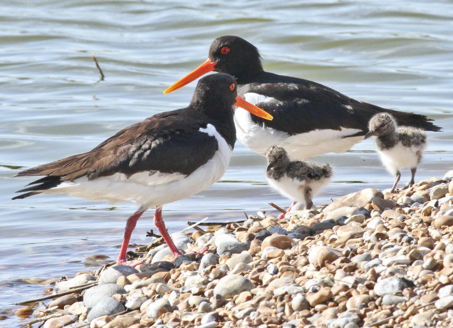 Oystercatcher And Chicks©Barry YatesSussex Wildlife Trust
