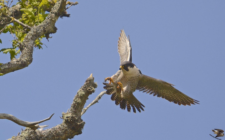 Peregrine Falcon 4478