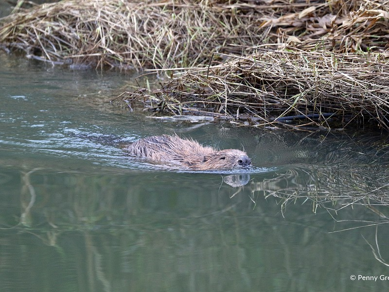 A sad farewell to Bramber the beaver