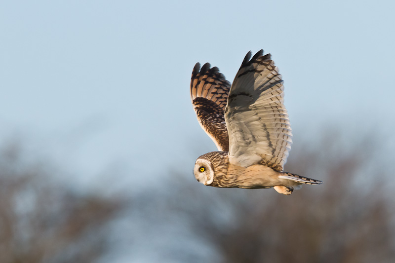 """Short-eared Owls: """"They come from the land of the ice and snow"""""""