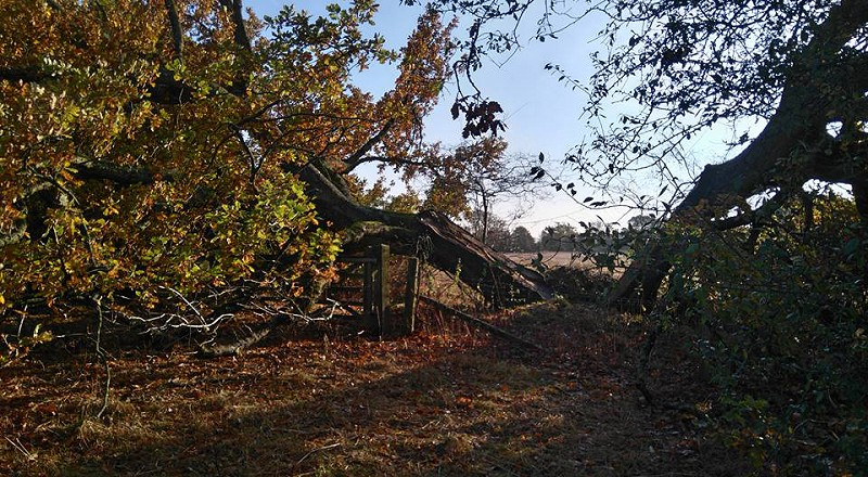 The tale of the collapsed oak
