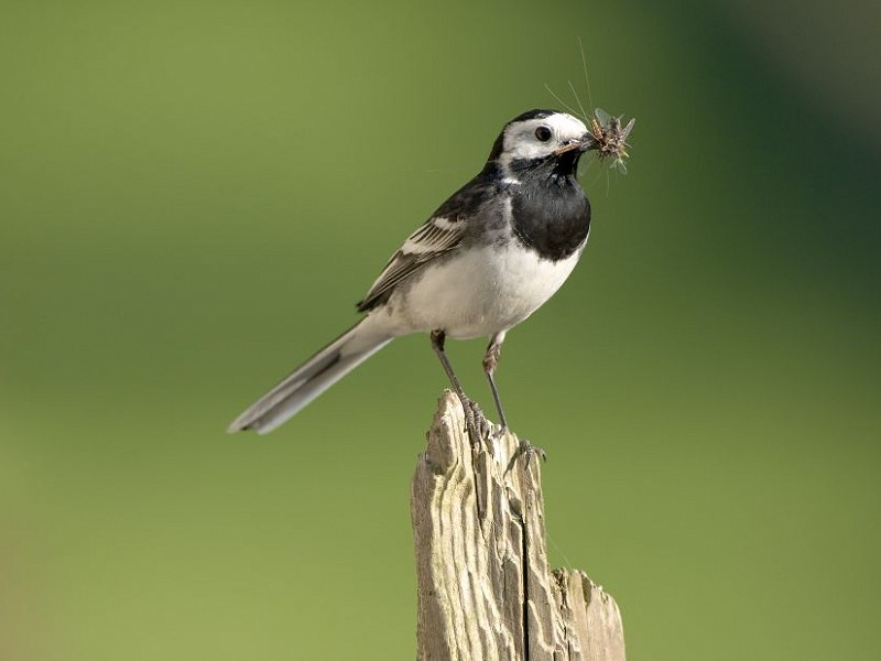 Species of the day: Pied Wagtail