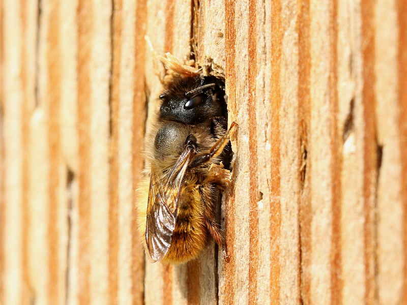 Species of the day: Red Mason Bee