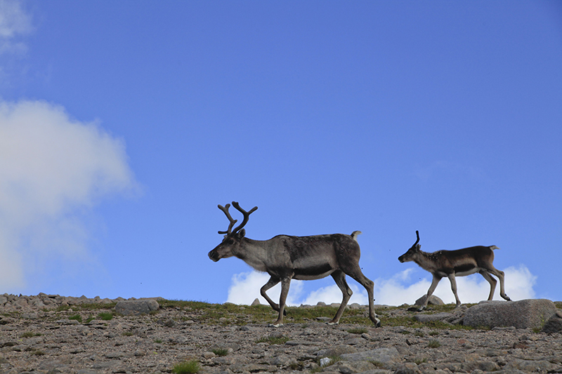 Rudolph the female reindeer