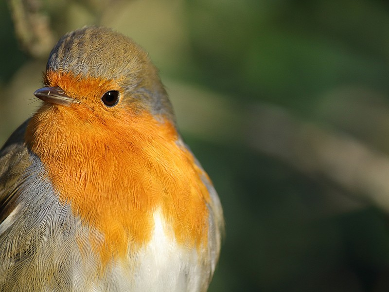 Robin - Bird Song